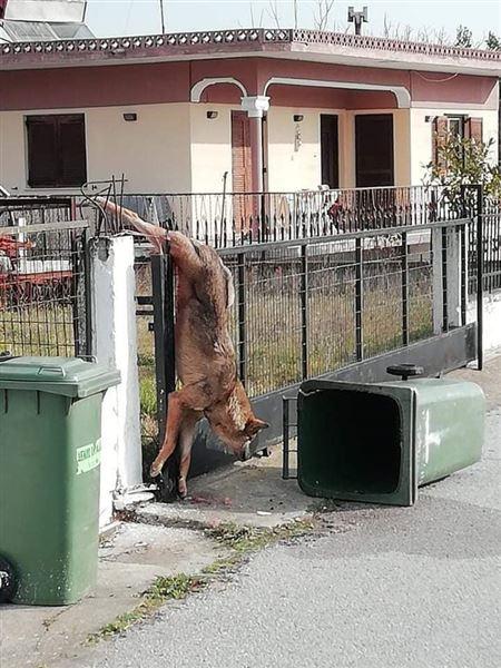 Αποτέλεσμα εικόνας για Λύκαινα παγιδεύτηκε σε καγκελόπορτα σπιτιού έξω